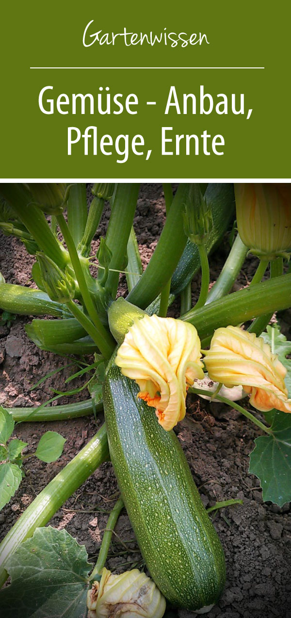 Gemüse Anbau Pflege Ernte