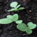 Keimlinge lang und dünn wachsen