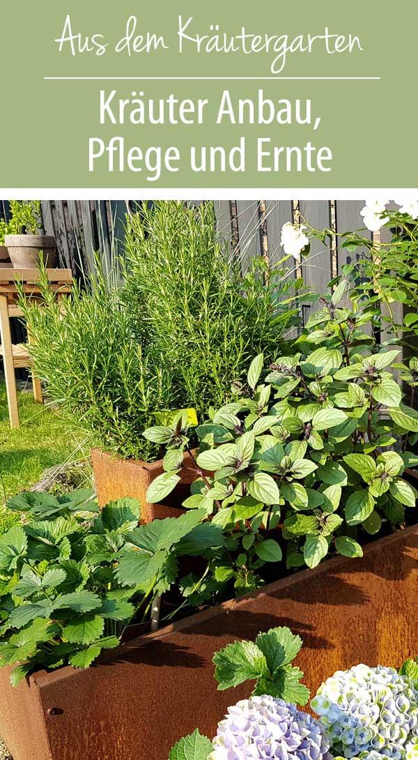 Kräuter Anbau Pflege und Ernte