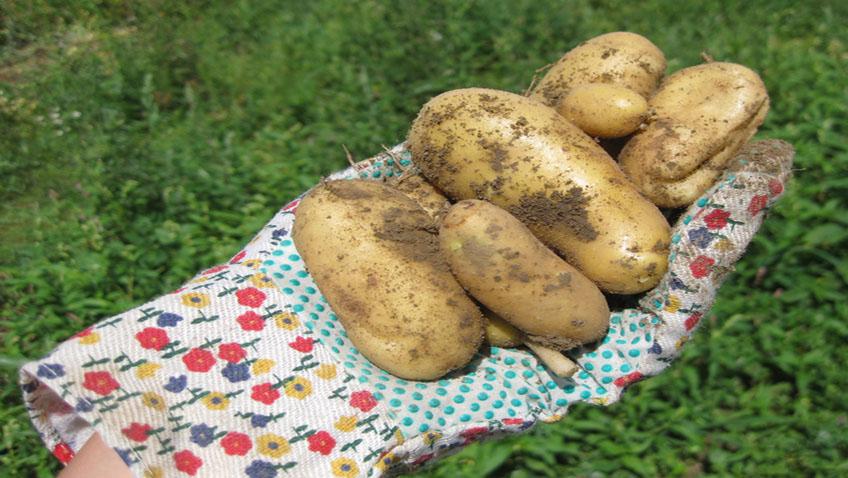 Kartoffeln im Kübel