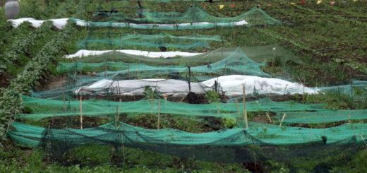 Acker-Parzellen im Mietgarten überspannt mit Vogelnetzen.