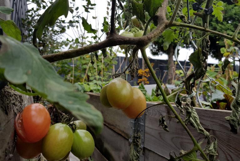 Tipps gegen Braunfäule an Tomaten