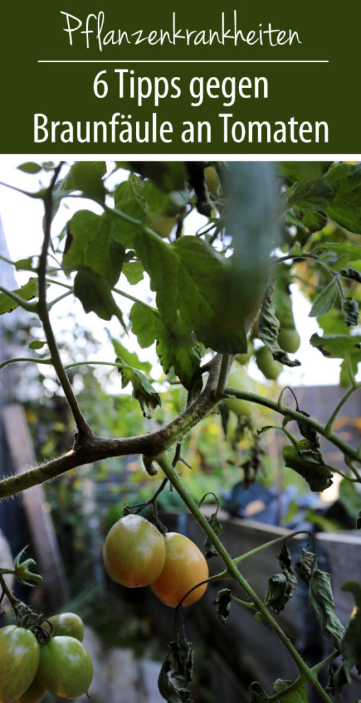 Braunfäule an Tomaten