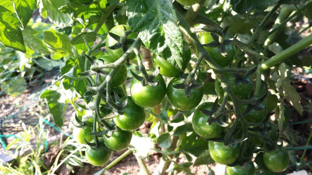 Grüne Tomaten Chutney Rezepte aus dem Garten