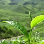 Teepflanze