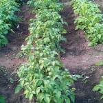 Kartoffeln in der Reihe