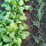 Spinat und Zwiebeln