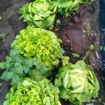 erntereifer Salat