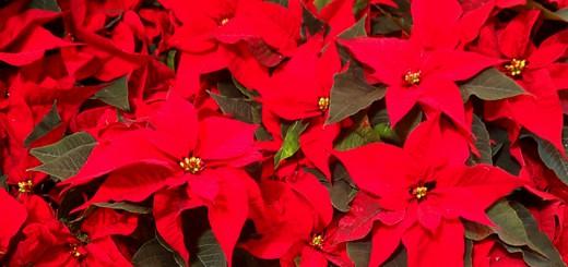 Weihnachtsstern zum Blühen bringen