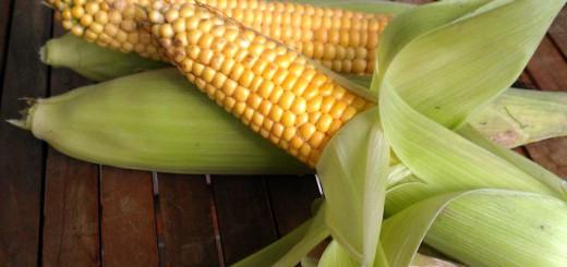 Grundnahrungsmittel Mais