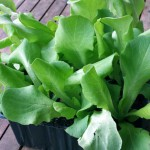 Salat Jungpflanzen
