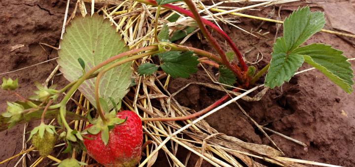 Wer verträgt sich mit Erdbeeren?