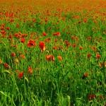 Leuchtendes Mohnblumenfeld