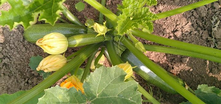 Wer verträgt sich gut mit Zucchini?
