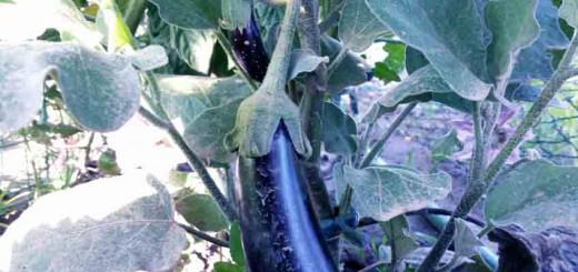Aubergine selber pflanzen