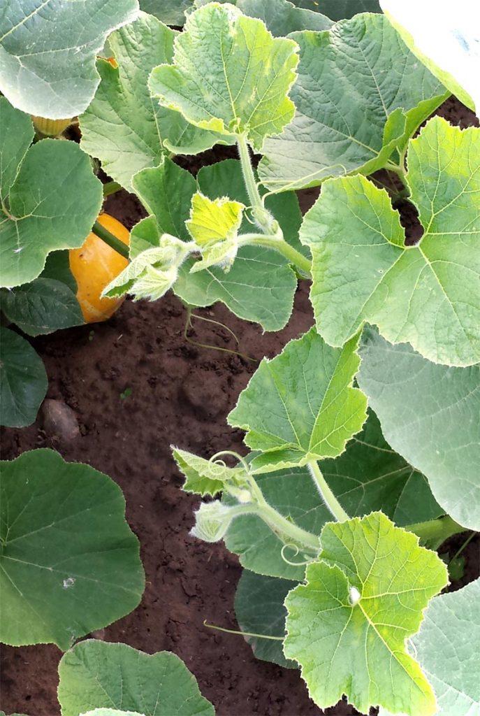 Atemberaubend Kürbistriebe abschneiden für kräftigere Früchte &OQ_17