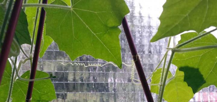 Rankende Gemüsepflanzen