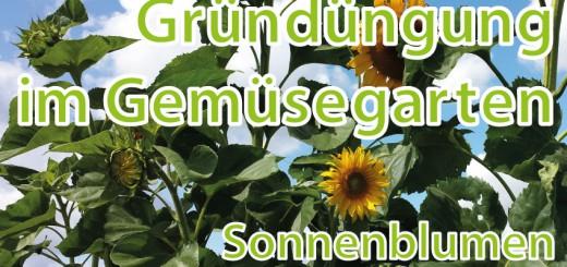 Gründüngung im Gemüsgearten Sonnenblumen