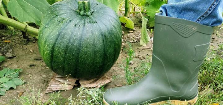 Riesen-Zucchini