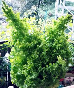 Salatbäume