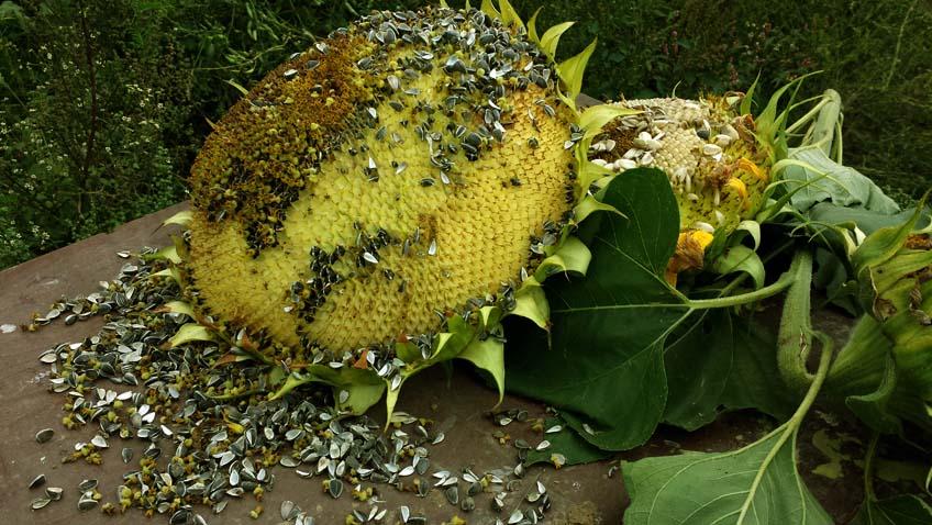Sonnenblume für Vögel