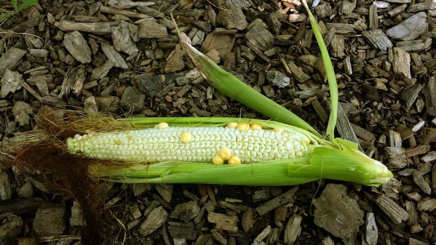 Was ist nur mit dem Mais los?