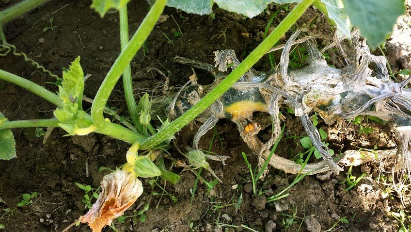 die unverwüstliche Zucchini