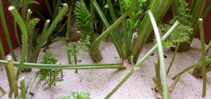 Möhren in Sand lagern