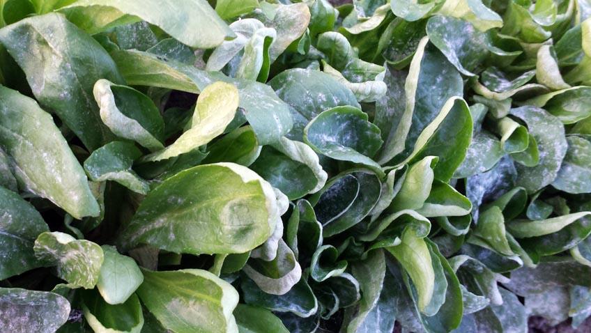 Mehltau auf dem Feldsalat