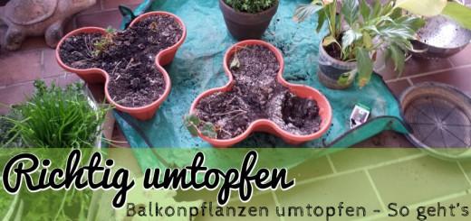 Balkonpflanze richtig umtopfen