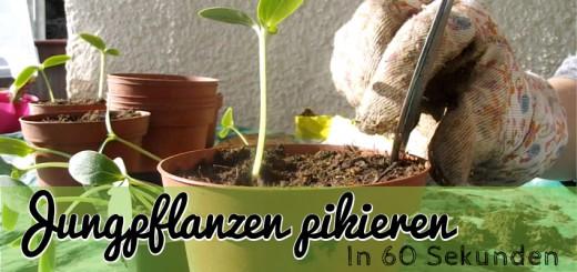 Jungpflanzen pikieren