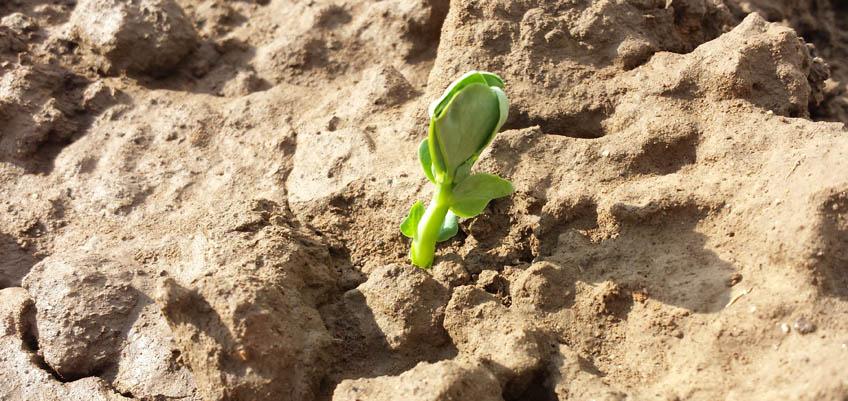 Keimdauer von Gemüsepflanzen