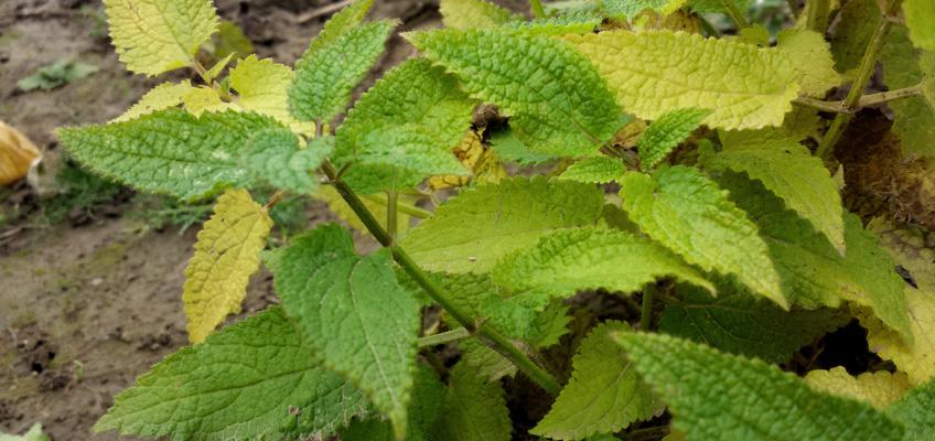 Knollenziest Blätter