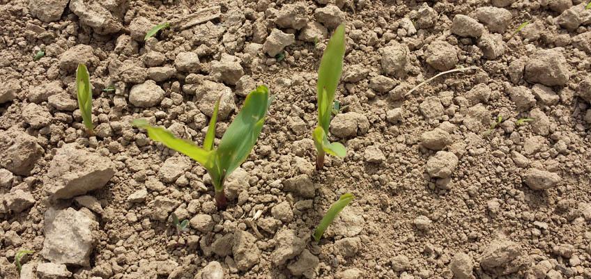 Jungpflanzen erkennen - Mais Jungpflanze