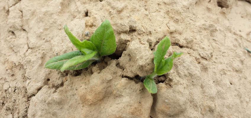 Jungpflanzen erkennen - Topinambur Jungpflanze