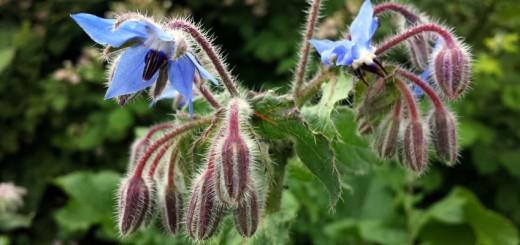 Borretsch Blüten