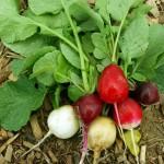Bunte Radieschen - die Erntezeit beginnt
