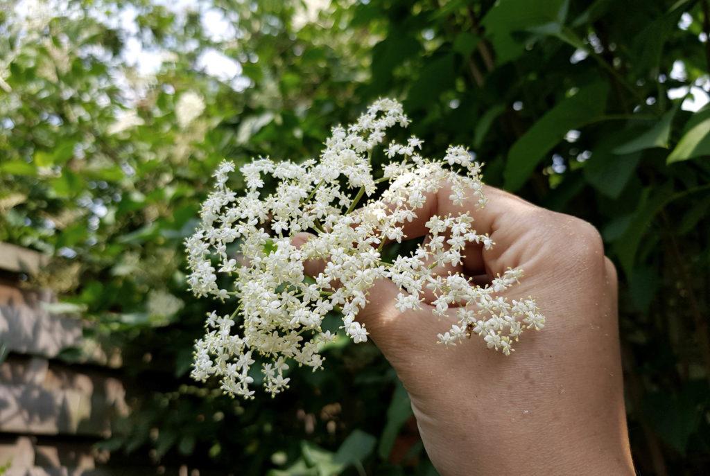 Holunderblütenernte Mai bis Juli - so pflückt man Holunderblüten