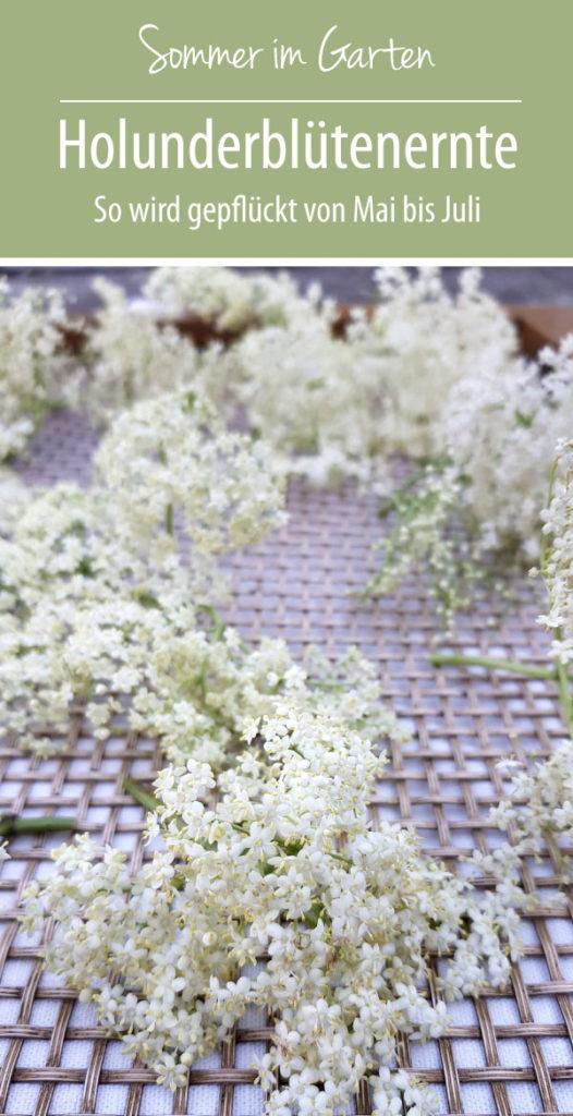 Holunderblütenernte - so pflückt man Holunderblüten von Mai bis Juli