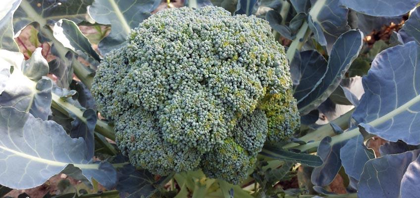 Brokkoli im Gemüsegarten