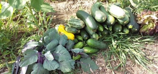 Ernte Zucchini Gurken Kohlrabi Salat