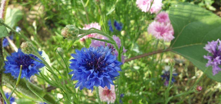 Kornblume blau und rosa