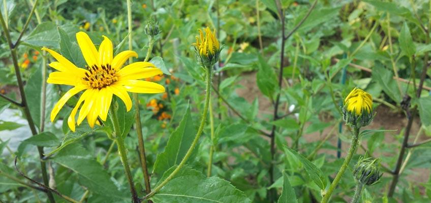 Topinambur Blüten
