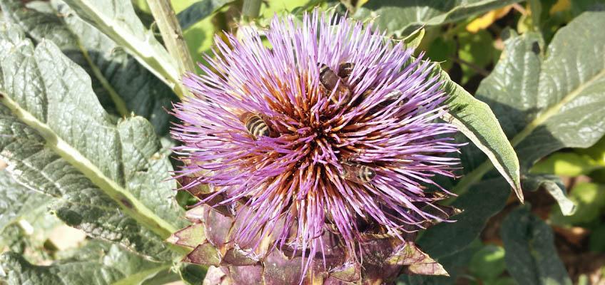 Blühende Artischocke mit Bienen
