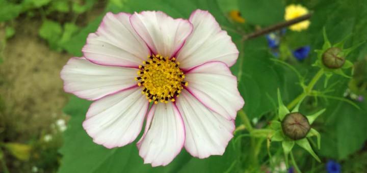 Essbare Blüten Malve
