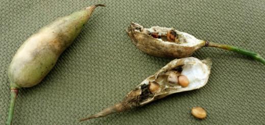 Radieschen Samen sammeln