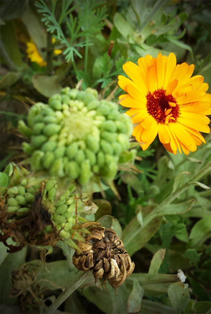 Essbare Blüten: Ringelblumen