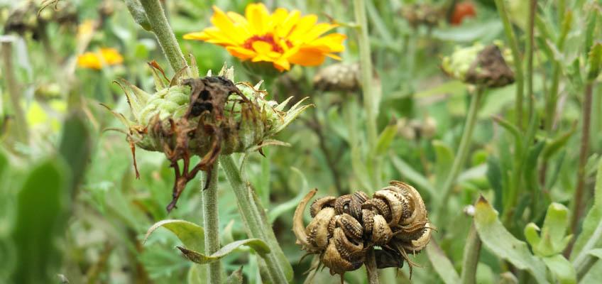 Blumensamen ernten