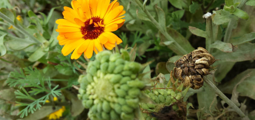 Ringelblume - Ringelblumen verblühen Samen sammeln