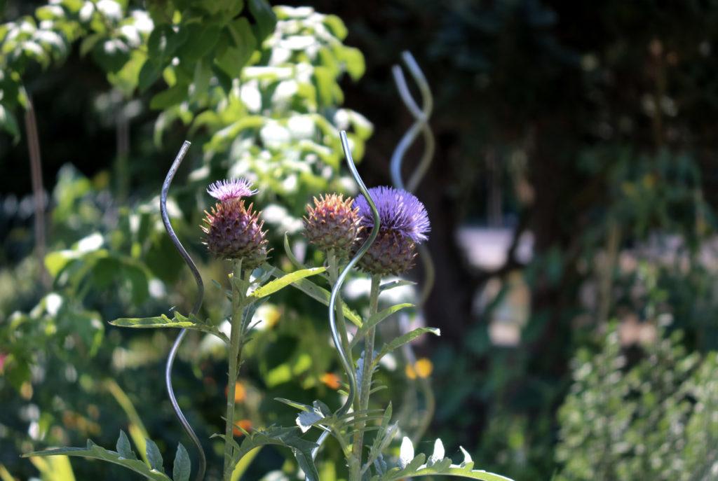 Artischocken überwintern im Garten
